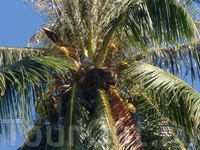 а это, похоже, обезьянка кокосы собирает