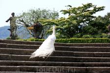 Белые павлины - историческая изюминка сада палаццо Борромео.