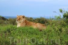 Следующим пунктом в программе тура значилось посещение национального парка Масаи Мара. Заповедник Масаи Мара расположен на юго-западе Кении это не самый ...
