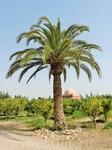 Пальма в окружении мандариновых деревьев