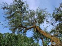 Вековые деревья.