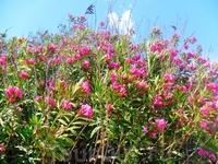 розовый олеандр