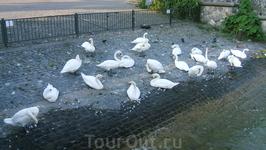 швейцарские лебеди