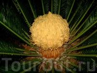 сердце пальмы