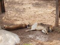 сон час львов