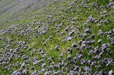 Такие цветочные поля есть в Аурланде