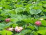 Конец июля-сезон цветения лотосов.