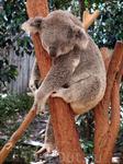 Спящий коала
