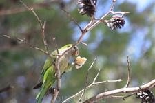 такие попугайчики живут в сосновом парке у пляжа