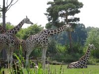 Жирафы, на них можно посмотреть со специальной площадки, иногда животные подходят довольно близко