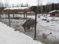 небольшой зоопарк. кабан