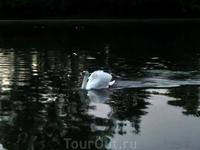 Еще один обитатель озера чистит перед сном перышки.