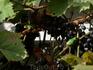 """""""местная"""" виноградная лягушка."""