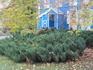 Великолепные заросли вечнозеленого можжевельника казацкого у усадебного дома.