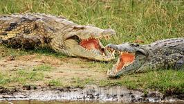 Крокодилы на берегу Нила