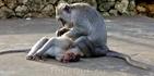 Шустрые обезьянки около храма Улувату