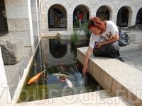 Табха - церковь умножения хлебов и рыб. Красивейшие ручные карпы и ныне умножаются