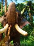 живой слон