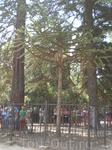 Воронцовский парк. Араукария У араукарии несколько названий: обезьянье дерево, манки-пазл, обезьянья загадка. Все дерево целиком покрыто колючей хвоей ...