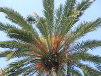 Я раньше никогда не задумывалась, о том, что разные пальмы цветут по разному. А тут пригляделась - и правда.