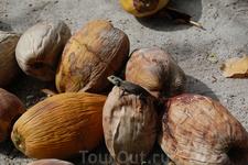 ящерица захватила кокос
