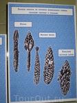 Еловые шишки из которых извлекались семена разными зверями и птицами: белкой, лесной мышью, большим пестрым дятлом.