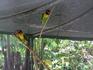 Пуэрто де ля Крус. Парк орхидей. Попугаи-неразлучники