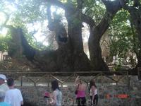 Старое - престарое дерево.
