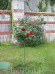 оказывается и розы могут расти на деревьях