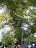 Огромный раскидистый платан,которому более 2200 лет, деревушка Краси