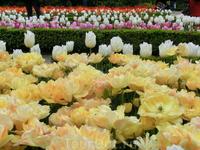 Нам повезло попасть в сад в прекрасное время цветения тюльпанов. Все получилось так, как я и хотела.