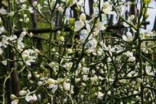 необычное растение терновник. у него необыкновенно нежные белоснежные цветы и огромные шипы-иглы