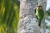 Малый зелёный бородастик (Megalaima zeylanica), азиатский вид.