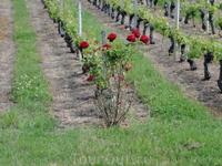Роза - показатель здоровья виноградной лозы.