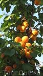 А так вот у дороги растут дикие абрикосы.
