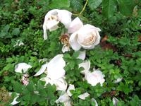 Возле храма растут розы