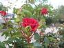Розы судацкие 4.