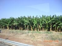 Плантации карликовых бананов по дороге в Хамат Гадер(термические источники)...там просто суппер!!! Это север Израиля,на границе с Иорданией...
