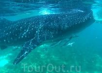 Одна из китовых акул