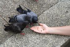 Рука, кормящая тайских голубей