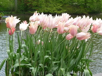 Кекенхоф - тюльпанный рай!