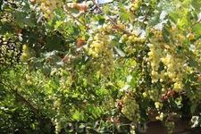 Внутенний дворик дома, также как и его фасад,  был весь увит плющом и виноградными лозами. Гроздья белого винограда висели прямо над головой.