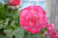 розы у отеля