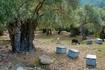 Тасос известен своим горным медом, повсюду стоят ульи. По причине большого количества пасек на острове не используются пестициды. Благодаря этому остров ...