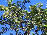 Карельские яблоки