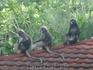 Лагур дымчатый очковый. Эти обезьянки очень понравились, они такие спокойные и дружелюбные
