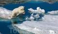 Ученые опасаются, что в ближайшие сто лет глобальное потепление приведет к вымиранию белых медведей Автор: Пол Никлен (Paul Nicklen)