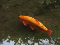 Рыбы всякие -разные,желтые-красные в Японском Саду!