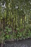 вот так растет там бамбук, из него делают множество поделок очень красивых и качественных.