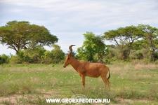 сафари в национальном парке Мёрчисон, Уганда